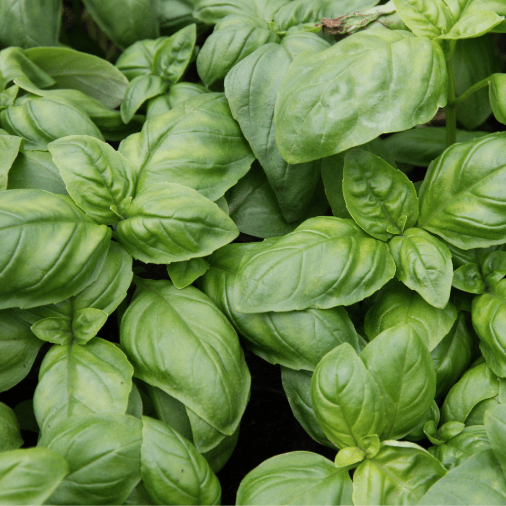 Blanch basil to keep its freshness